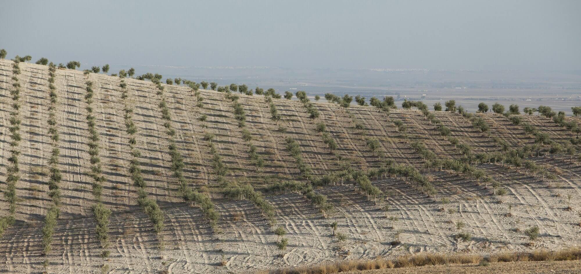 elaboracion aove ecologico aceite oliva virgen extra laespabila